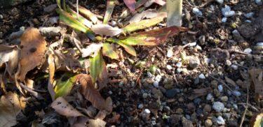 節分草(セツブンソウ)が芽を出しました。