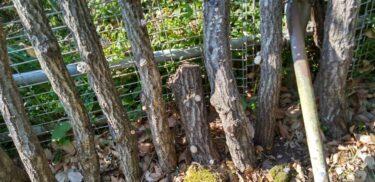節分草(せつぶんそう)と森